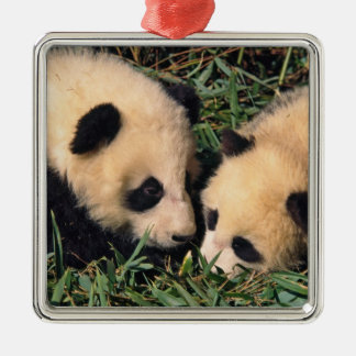 Two panda cubs in the bamboo bush, Wolong, Silver-Colored Square Decoration