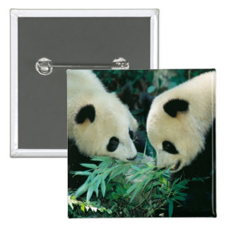 Two pandas eating bamboo together, Wolong, 15 Cm Square Badge