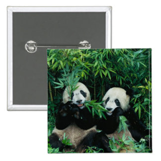 Two pandas eating bamboo together, Wolong, 2 15 Cm Square Badge