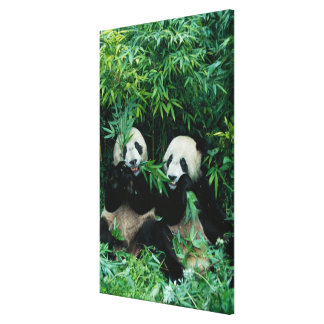 Two pandas eating bamboo together, Wolong, 2 Gallery Wrapped Canvas