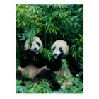 Two pandas eating bamboo together, Wolong, 2 Postcard