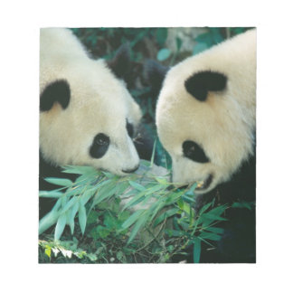 Two pandas eating bamboo together, Wolong, Notepad