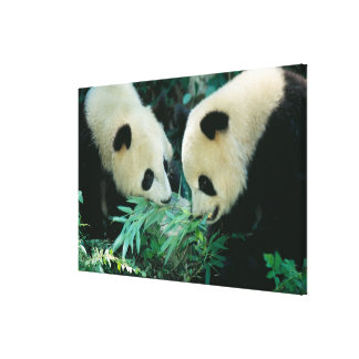 Two pandas eating bamboo together, Wolong, Stretched Canvas Print
