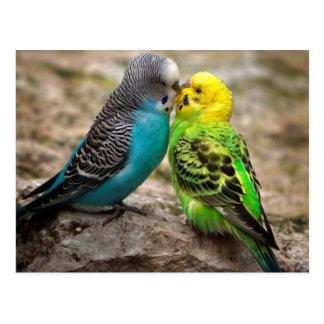 Two Parakeets Postcard