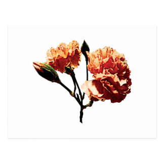 Two Peach Carnations Postcards