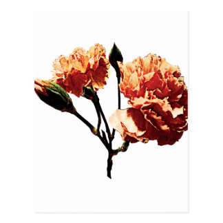Two Peach Carnations Post Card
