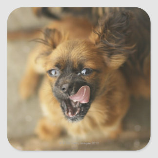 Two Pekingese dogs. Square Sticker
