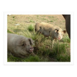 two pigs post cards