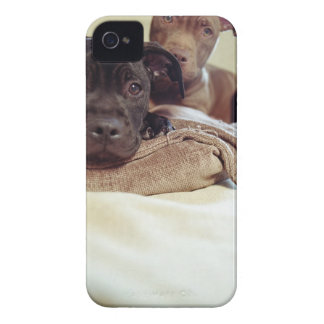 Two pit bull terriers sitting indoors, close-up Case-Mate iPhone 4 case
