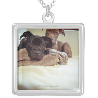 Two pit bull terriers sitting indoors, close-up silver plated necklace