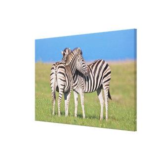 Two Plains zebra (Equus quagga) on coastal Canvas Print