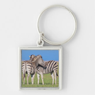 Two Plains zebra (Equus quagga) on coastal Silver-Colored Square Key Ring
