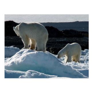 Two Polar bears Postcard