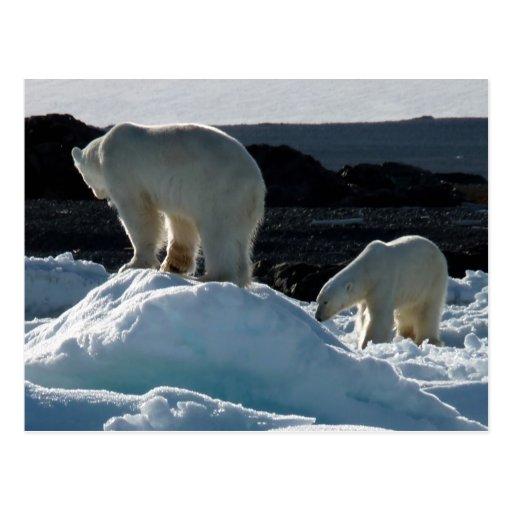 Two Polar bears Post Cards