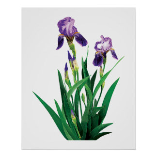 Two Purple Irises Poster