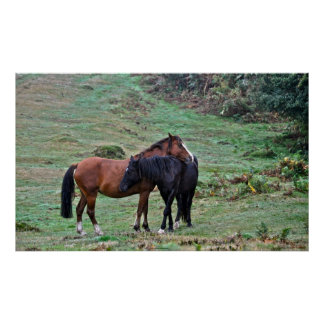Two Rare New Forest Ponies Friendship - England Poster
