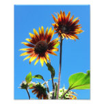 Two Red Sunflowers 8x10