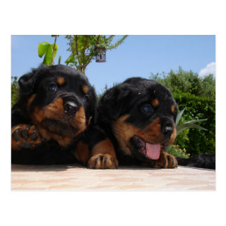 Two Rottweiler Puppies On A Step Postcard
