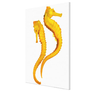 Two Sea Horses shoot on a white background in a Canvas Print