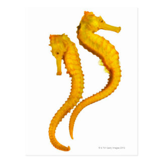 Two Sea Horses shoot on a white background in a Postcard