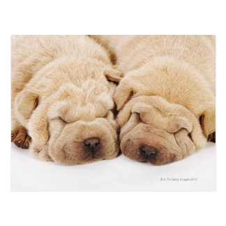 Two Shar Pei puppies sleeping Postcard