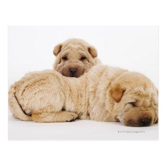 Two Shar Pei puppies sleeping, studio shot Postcard