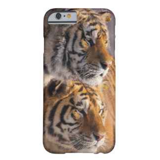Two Siberian tigers together, China Barely There iPhone 6 Case