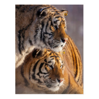 Two Siberian tigers together, China Postcard