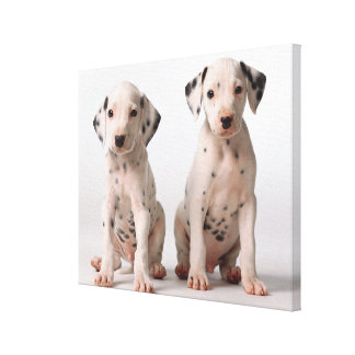 Two Small Black And White Dalmatian Puppies Canvas Print