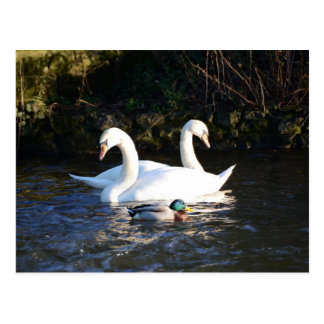 Two Swans And A Duck Postcard