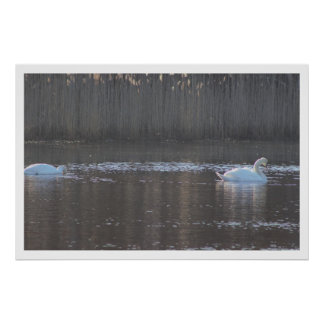 Two Swans at the Refuge Poster