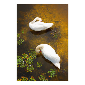 Two swans with sun reflection on shallow water. art photo