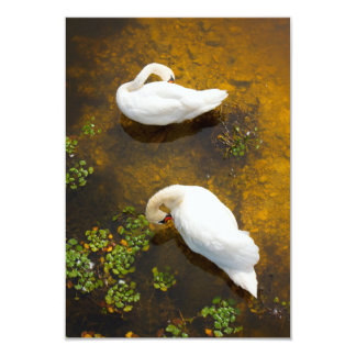 Two swans with sun reflection on shallow water. custom invitation