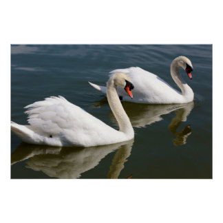 Two Swimming Swans Poster