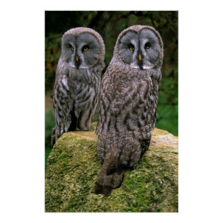 two tawny owls next to each other, pair, print