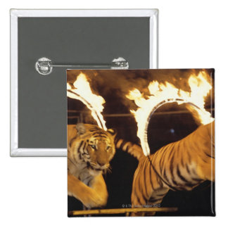 Two tigers leaping through burning rings of fire 15 cm square badge