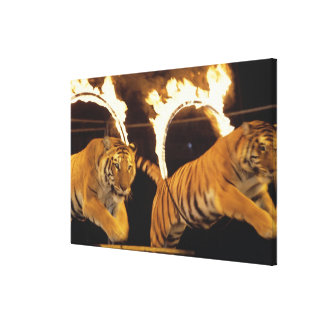Two tigers leaping through burning rings of fire canvas print