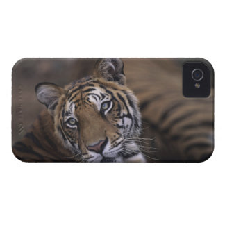 Two tigers (Panthera tigris) lying down, 2 iPhone 4 Cover