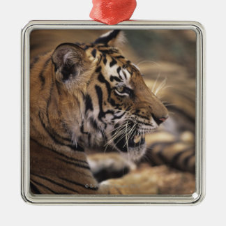 Two tigers (Panthera tigris) lying down, Christmas Ornament
