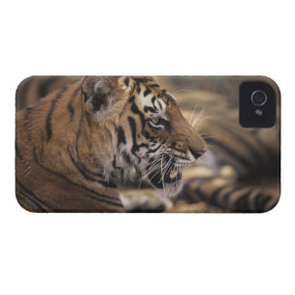 Two tigers (Panthera tigris) lying down, iPhone 4 Covers