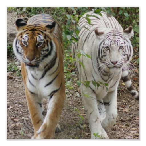 TWO TIGERS STRUTTING- WHITE AND BENGAL POSTERS