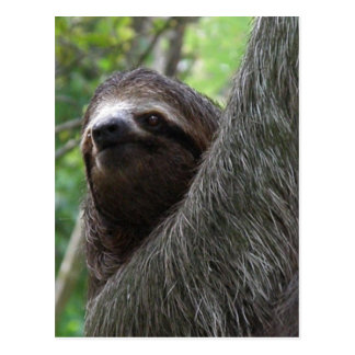 Two Toed Sloth Postcard