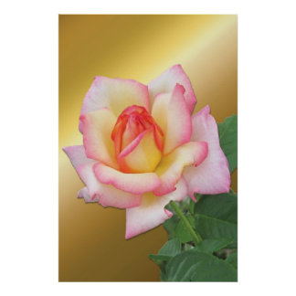 Two-tone Pink Rose over Gold Poster