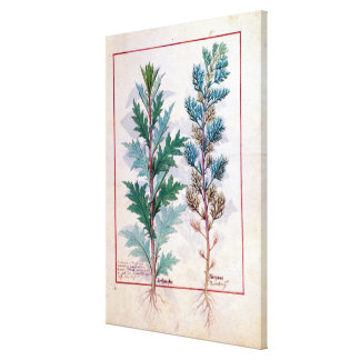 Two varieties of Artemesia Canvas Print
