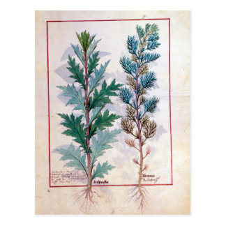 Two varieties of Artemesia Postcard