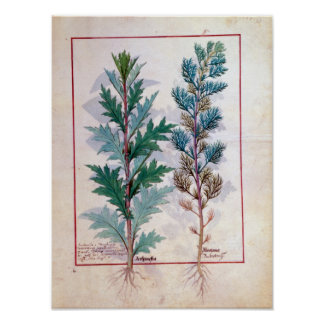 Two varieties of Artemesia Poster