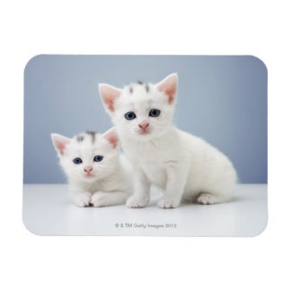 Two very young white kittens stare inquisitively rectangular photo magnet