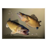 Two Walleye Feeding Poster