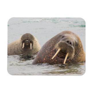 Two walruses in water, Norway Magnet
