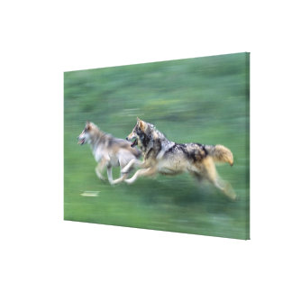 Two wolves in mountain meadow canvas print